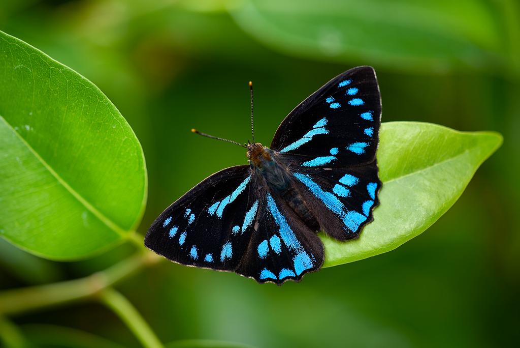 【観覧注意】世界の蝶が見たいです!【苦手な方はご遠慮下さい】